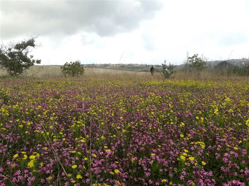 colors  flowers  yellow  pink  purple   khiam  south ... (Al Khiyam, Al Janub, Lebanon)