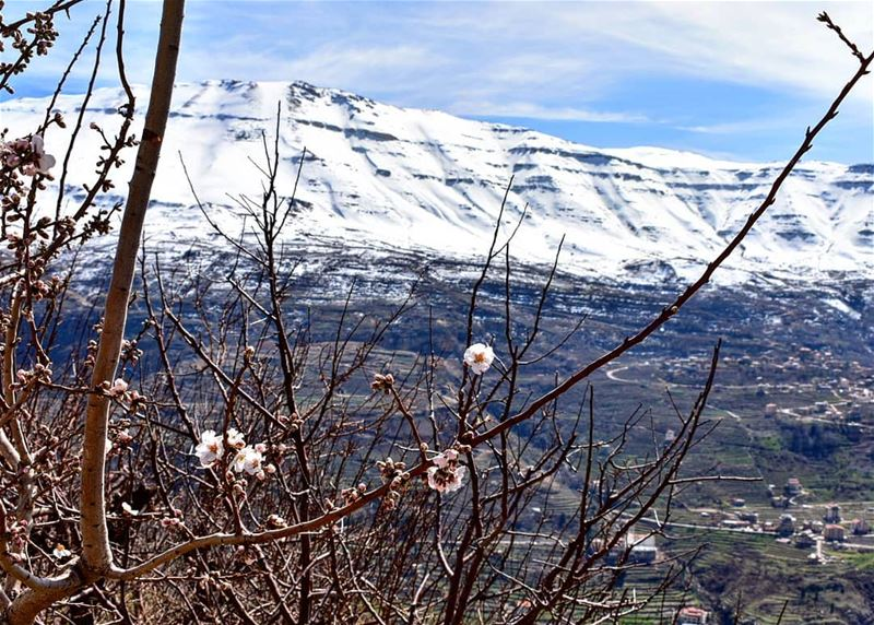 Spring is blossoming, Winter is fading livelovebcharre  cedars  snow ... (Bcharreh, Liban-Nord, Lebanon)