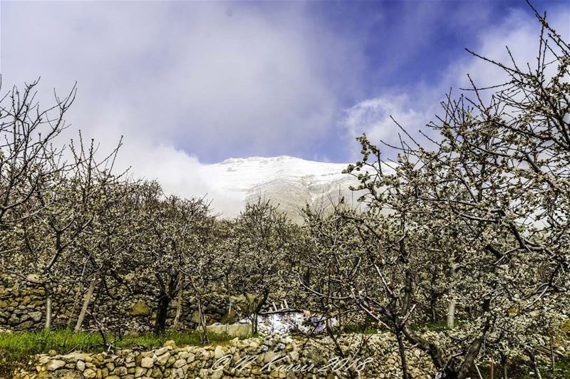 clouds  fog  mountain  snow  cherry  cherryblossom  trees  Lebanon ... (Baskinta, Lebanon)