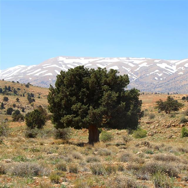 It is in the strongest conditions that a Lazzab (Juniper) tree lives for...