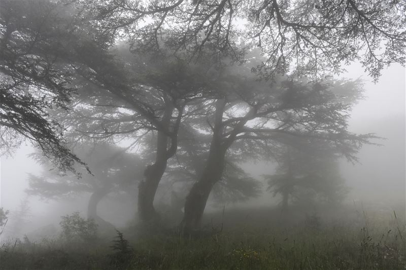 Another Foggy Day in Cedar Country [Chouf, Lebanon]See more of my pix at: (Arz el Maasser)