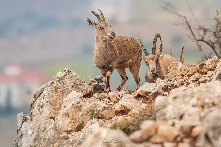 The Nubian ibex is a desert-dwelling goat species found in mountainous... (Lebanon)