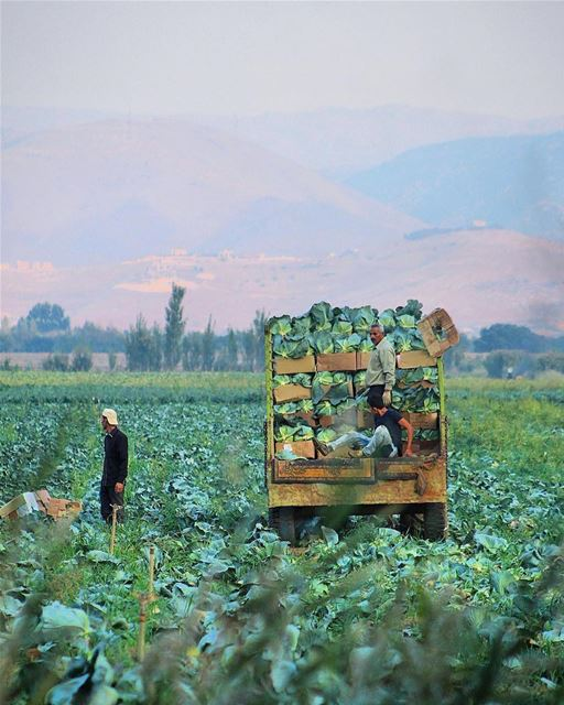 Harvest in the beautiful Bekaa Valley in eastern Lebanon.The fertile... (Qabb Ilyas, Béqaa, Lebanon)