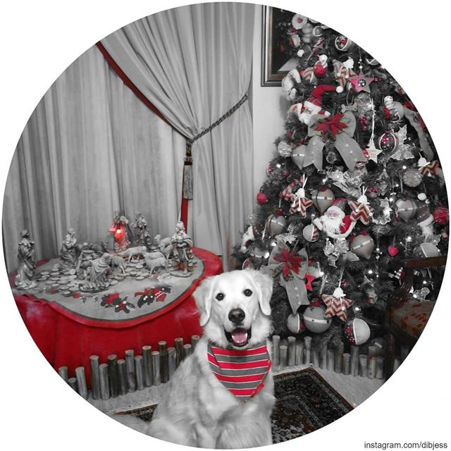 ready for Christmas 🎄. Woody  ilovemydog  happyface  purelove ...