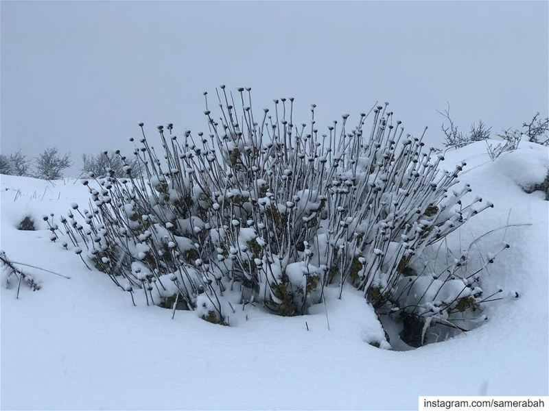 Snow Bouquet........... snow  bouquet  plant  winter  cold ... (Chouf)