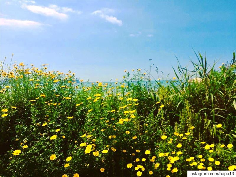 nature  spring  bluesky  bluesea  sea  ocean  clouds  yellow  flowers ...