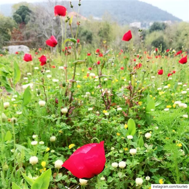 A glimpse of spring in the beautiful mountains of Akkar.April is the... (Al Qubayyat, Liban-Nord, Lebanon)