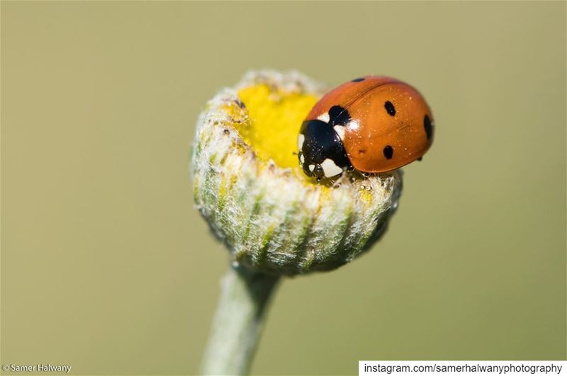 Home sweet home!...out of the green a red spot...the ladybug in  search...