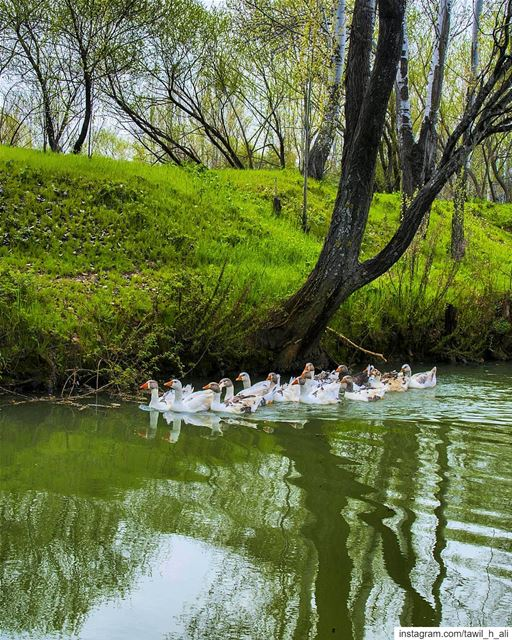 Swimming Time 🦆------- naturephotography  nature  lake ... (Al-Mansoura - West Bekaa)