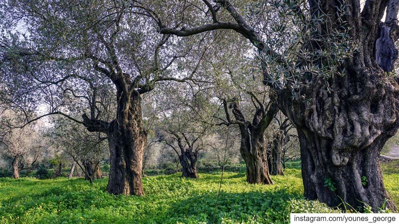 Old olive trees floating on a carpet of green in Akkar, one of the most...