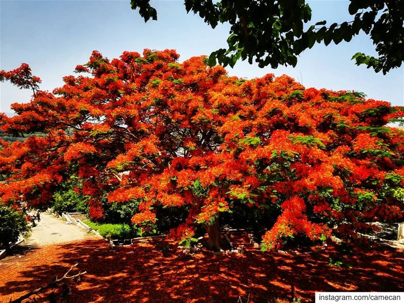 lebanon  south  colorful  tree  summer  colors  picoftheday ...