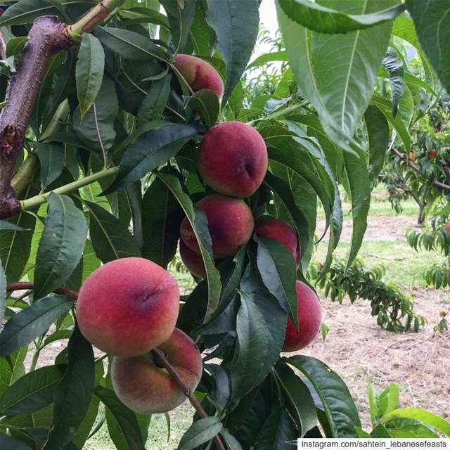 It's that time of year again and the stone fruits are looking absolutely...