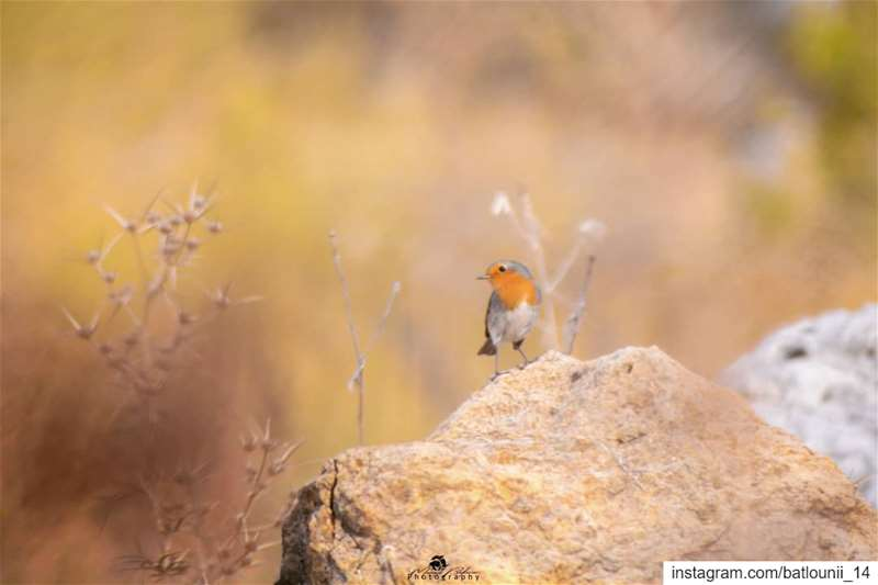 The Robin bird 🍂───────────────── robinbird   shoufbiospherereserve ...