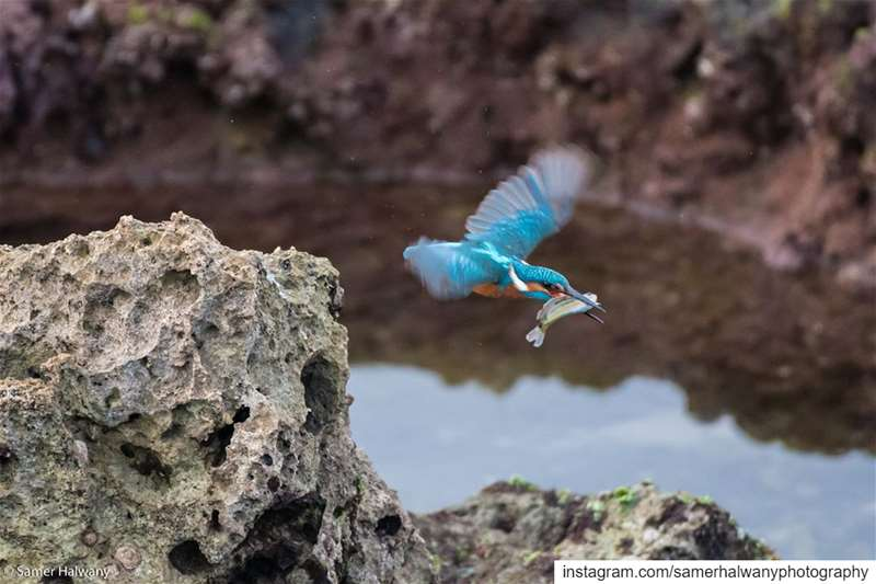 The big Catch!From the rocks of our  beirut  seaside the  kingfisher...