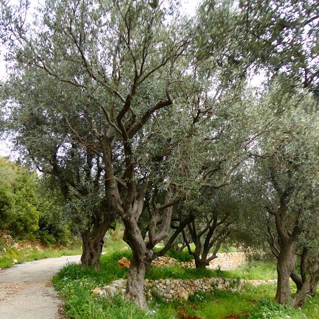 olivetrees springspirit garden orchard mountain discoverlebanonsnature