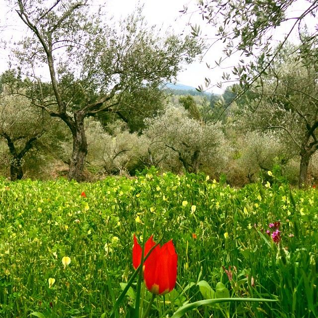 mountain olivetrees garden orchard natureshots coquelicot paradiseflowers springspirit discoverlebanon loves_lebanon