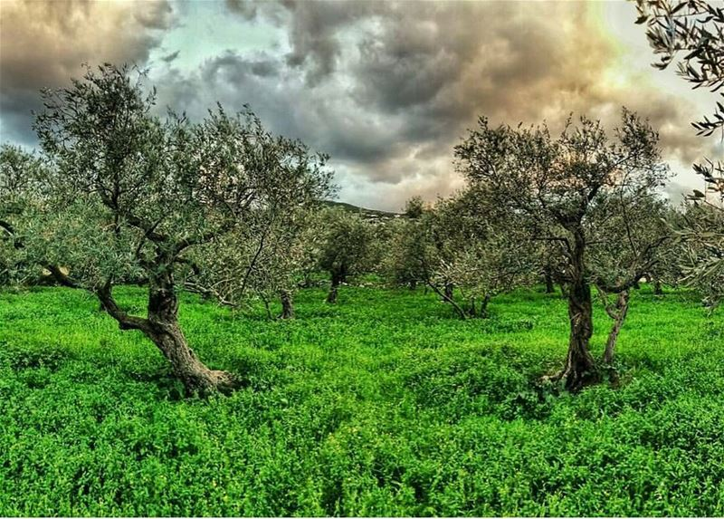batroun  thoum  village  olivetrees  nature  bebatrouni  lebanon ... (Batroun Thoum)
