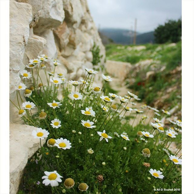 Flower white flowers colors spring rock wall lebanon colorful flower white flowers colors spring rock wall lebanon colorful mightylinksfo