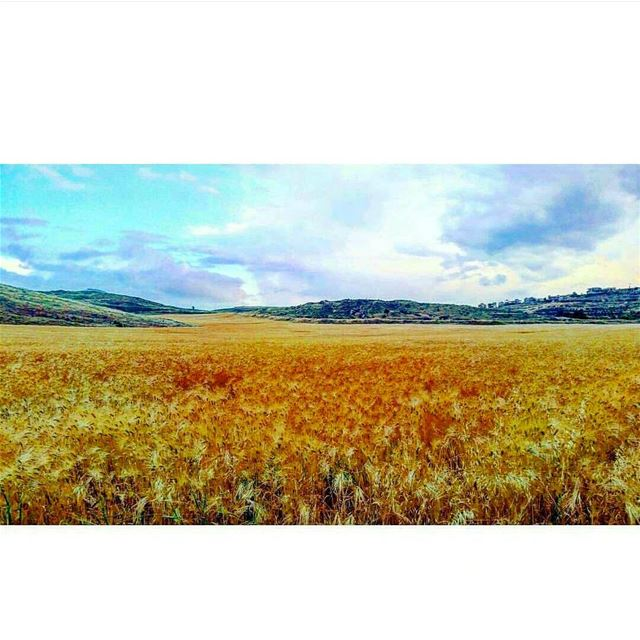 Tb 🌾🙋 wheatgrass wheat beqaa tb winter clouds cloudy blue nature sky...