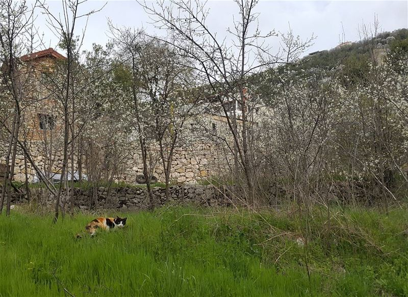A cat in a blossoming garden of a bungalow lebanon  kesserwen  achqout ...