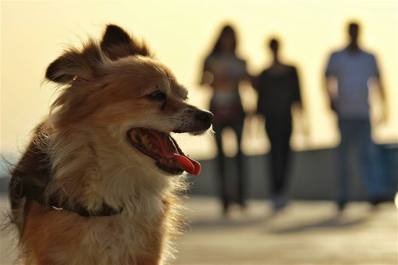Posing Dog happy  cute  dog  posing  owner  corniche  waterfront  beirut ... (Beirut Waterfront)