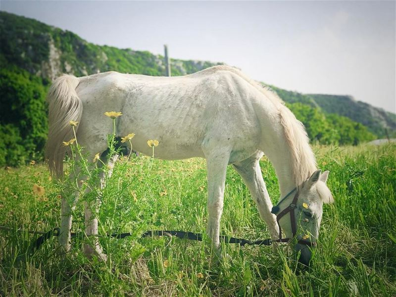 """If you wanna  Ride, Go ride the  WhiteHorse"" horse  white  freedom ... (Batroun District)"