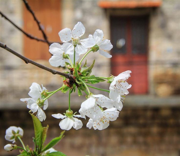Every home built next to the trees has a blossom season.  lebanesehouses ... (Beïno, Liban-Nord, Lebanon)