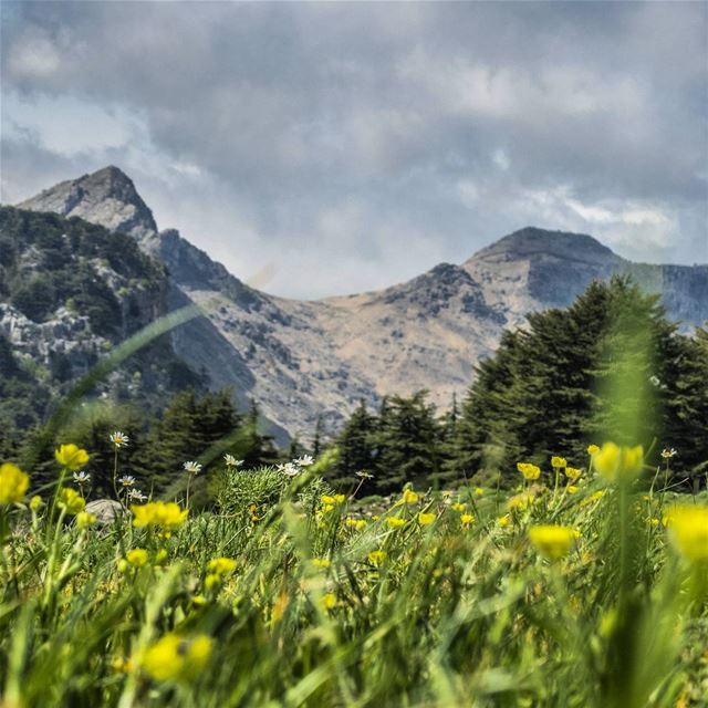 The hills are alive 🏔🌸 spring  flowers  field  mountains  trees  cedars... (Tannourine Cedars Nature Reserve)