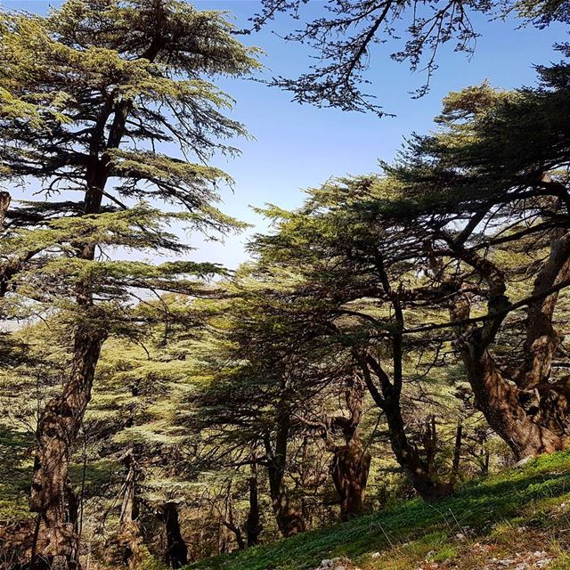 Cedars. shouf  nature  reserve  lebanon  middleeast  amazing  colours ... (Shouf Biosphere Reserve)