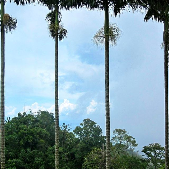 Symmetrical Palms, the views up on the hill are simply breathtaking,... (Penang Hill)