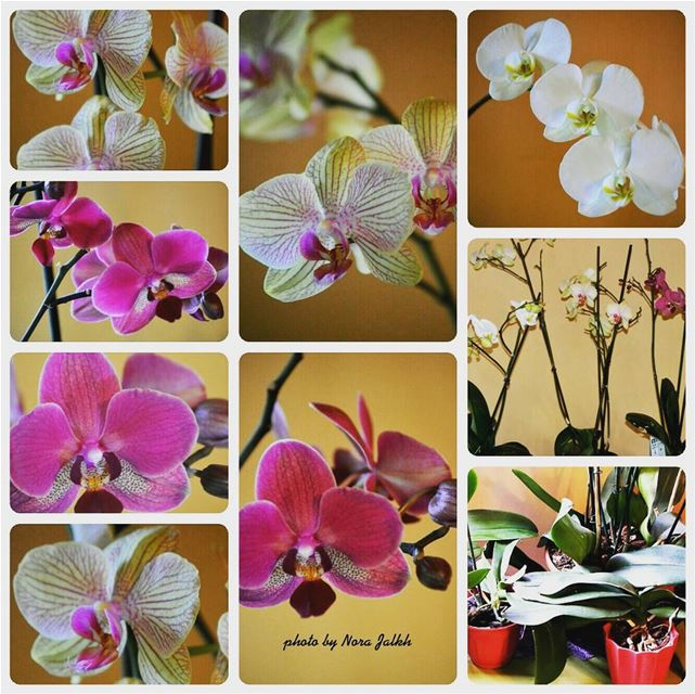 My orchids blooming after taking care of them  springtime orchids flowers... (Mazra`At Yashu`, Mont-Liban, Lebanon)