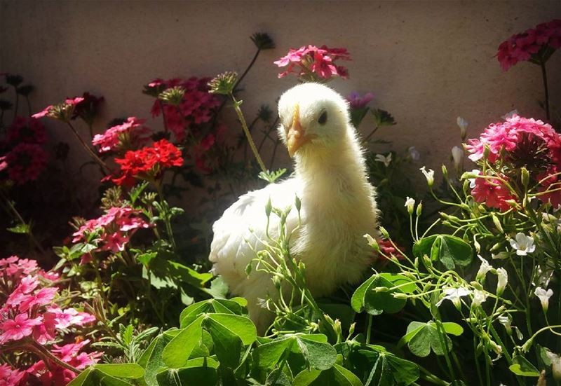 My cuteyy chick chick🐥💛 シAweSomeNesSツ photographer cute  cuteyy  Chicks...