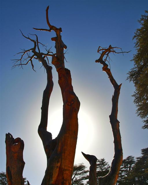 To The Sky sculpture  tree  ancient  cedar  reserve  summer  sunny ... (Cedars of God)