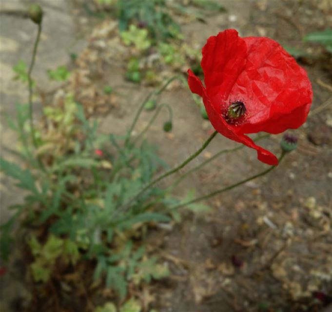 Anemone_coronaria  شقائق_النعمان photooftheday  flower Anemone coronaria ...