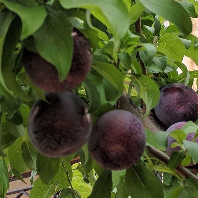 prunes  fruit   freshfruits  garden  mygarden  prunetree   fresh ...