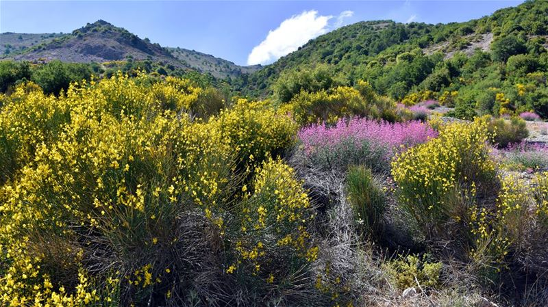 Up on the Hill-------------------- nature  flowers  wildflowers ... (Bekaa Valley)