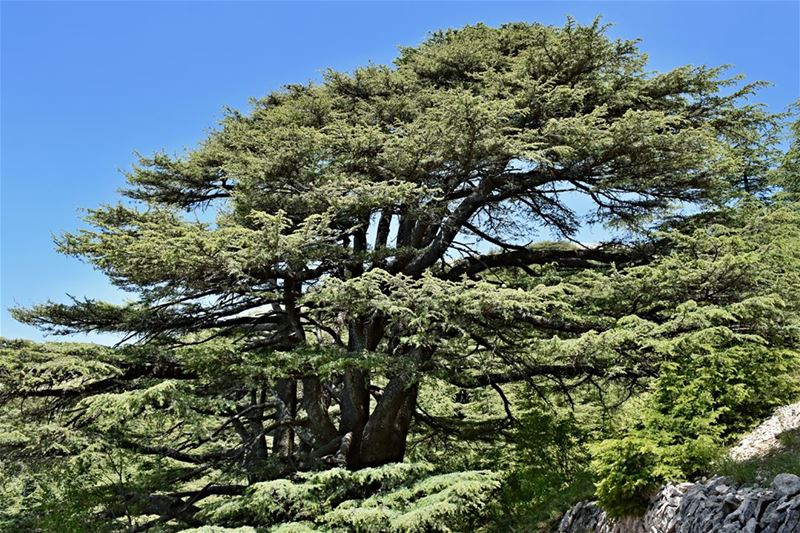 Making our planet great again - A picture-perfect 2000-year-old Cedar of...
