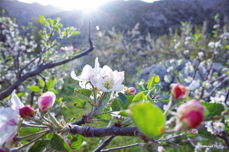 tb  flowers  apple  tree  tannourine  nature  sun  sunray  colors ... (Tannourine)