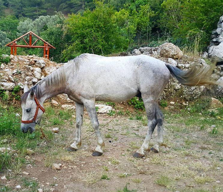"I think it uses ""ultra doux"" 🐴 🐴 🐴  horse  lebanon ..."