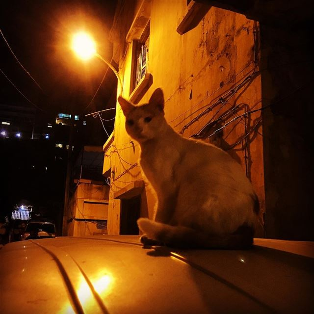 white  cat sitting on a van's  rooftop under the  moonlight and  sodium ...
