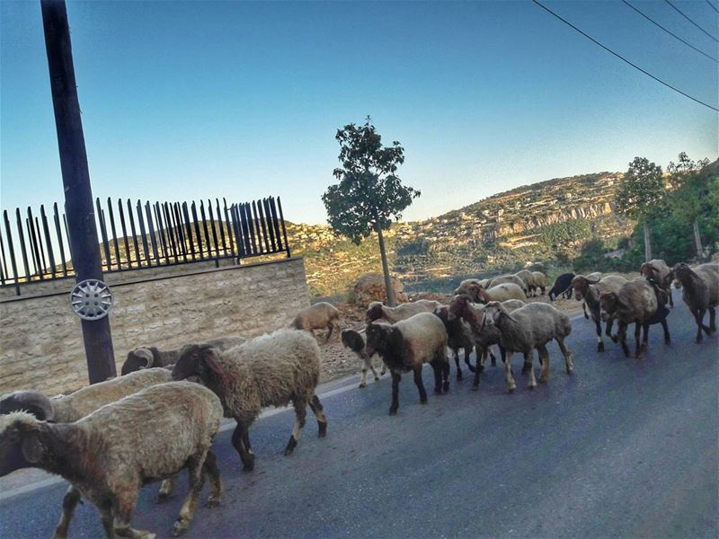 🐏🐏🐏🐏 By @eliofaour  livelovechartoun  animals  nature  capture ...