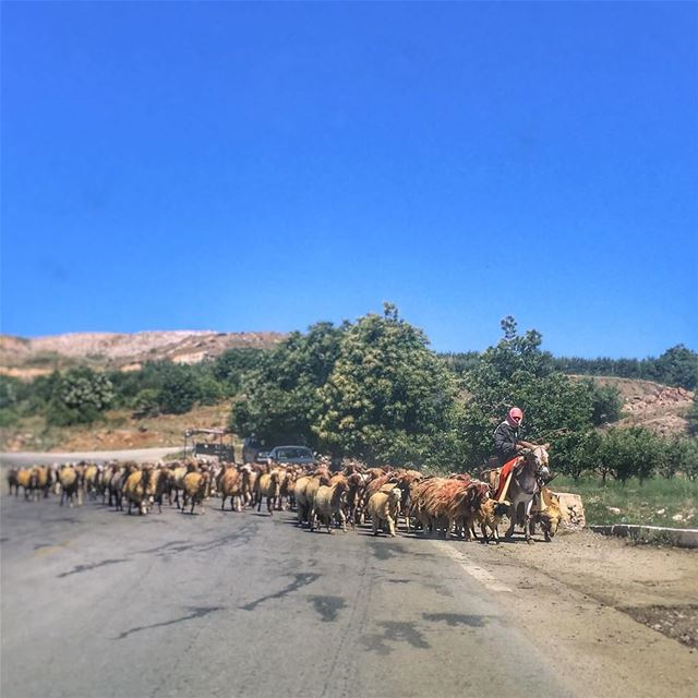 Wait till we cross the road -  LiveLoveBekaa  Shepherd  Sheep ... (مجدل ترشيش)