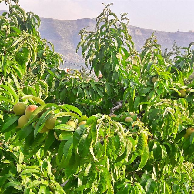 Peaches are almost ready to harvest 🍑🍑🍑  Peaches  HarvestSeason  Fruits... (Es Sfîre, Liban-Nord, Lebanon)