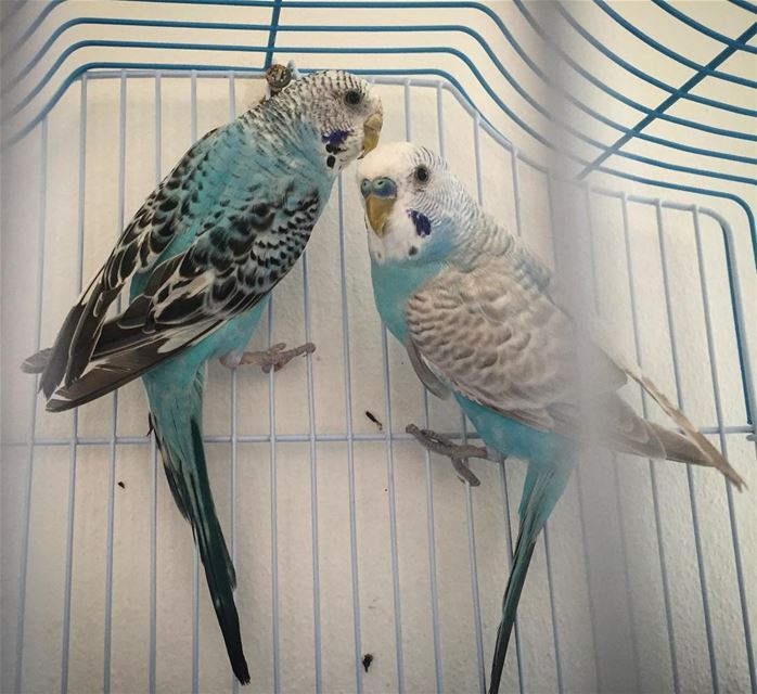 soulmate  lovebirds  cage blue white love bird picoftheday  tags4likes ...