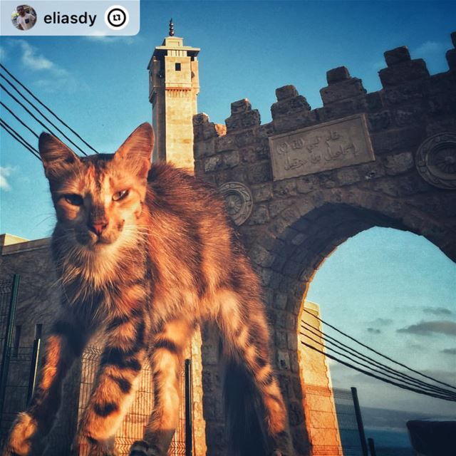 """Cranky... but cute 😍 🐱.. cat  cute  animals  oldtown  mosque  sour ..."