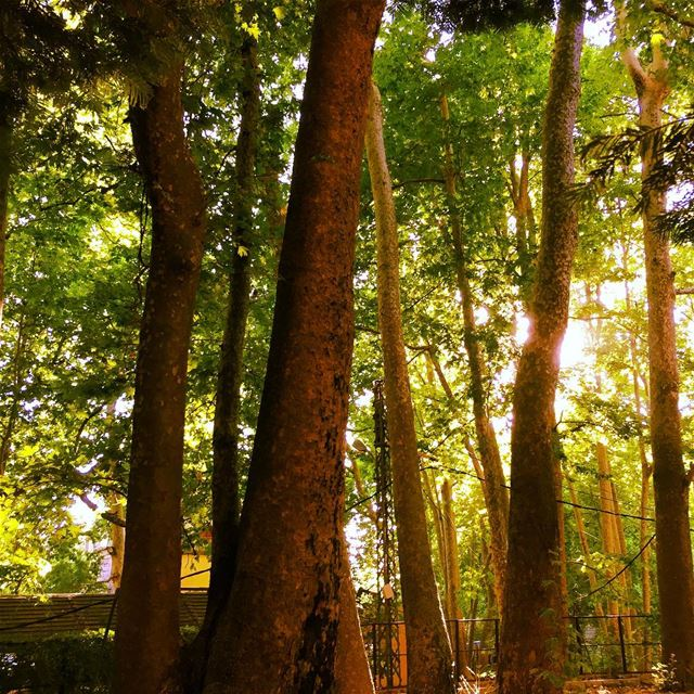 nature  green  tree  trees  sun  sunlight  forest  garden  high  sky ... (Faraya, Mont-Liban, Lebanon)