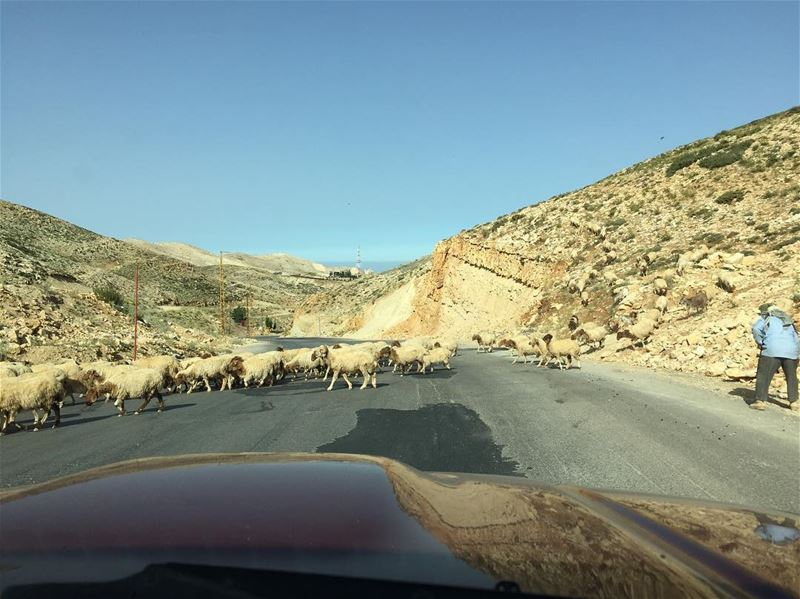 sheepontheroad  sheep  🐑 lebanesesheeps  nature  sunnyday  lebanon ... (Mzaar Kfardebian)