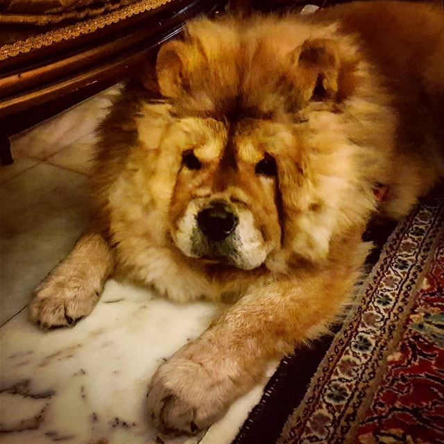 Manipulative  furry  creatures  chowchow  dogs  dogsofinstagram  love ... (Beirut, Lebanon)