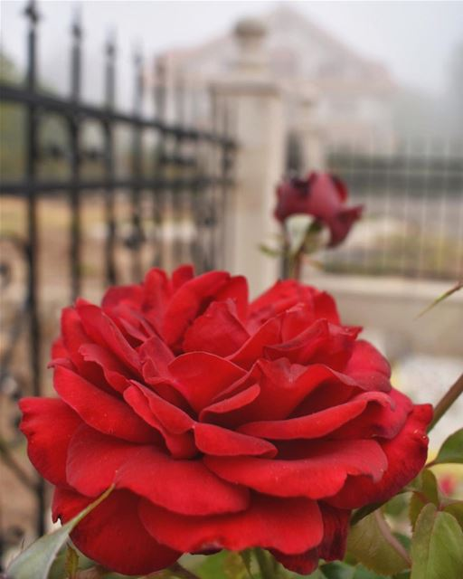 A rose in the mist ❤️🌹✨_______________________________________________... (Ehden, Lebanon)