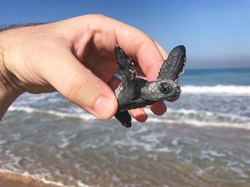 Today we saved more than 100 baby Green Turtles! Hopefully they will all... (Lebanon)